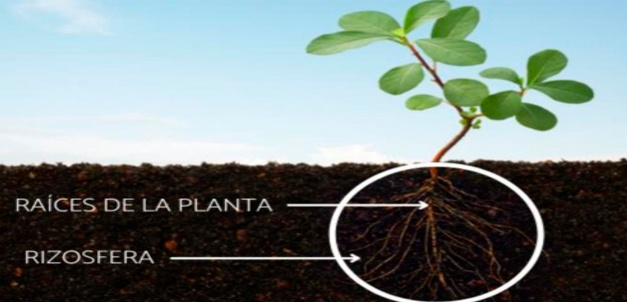La Rizosfera es la Zona biológicamente activa del suelo , Ecoferti