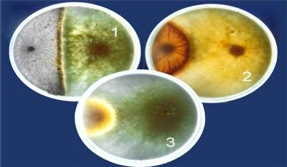 Cultivo de hongos controladores de patógenos del suelo, Ecoferti